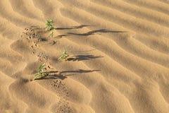 Piante del deserto, ombre lunghe e tracce sulle dune di sabbia Fotografia Stock Libera da Diritti