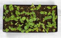 Piante del dispositivo d'avviamento del fagiolino pronte a piantare esterno in giardino Fotografia Stock Libera da Diritti