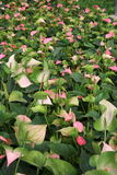 Piante del fiore di fenicottero Fotografia Stock Libera da Diritti