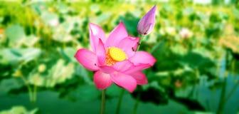 Piante del fiore di Lotus Fotografie Stock