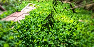 Piante del giacinto d'acqua su acqua che sono in uno stagno fotografie stock libere da diritti
