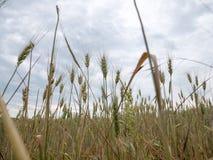 Piante del grano prima di tempo di raccolto sul campo di agricoltura fotografia stock