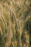 Piante del grano in sole del giacimento di grano Fotografie Stock