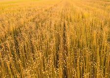 Piante del lino alla luce solare di primo mattino Fotografia Stock
