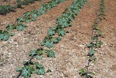 Piante del midollo e della melanzana che crescono in un terreno agricolo Immagine Stock