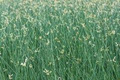 Piante del papiro nel campo per fondo Immagine Stock