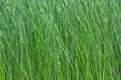 Piante del papiro nel campo per fondo Immagini Stock Libere da Diritti