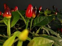 Piante del peperoncino rosso Fotografia Stock Libera da Diritti