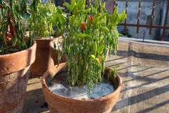 Piante del peperoncino rosso innaffiate Immagini Stock