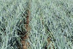 Piante del porro su un campo prima del raccolto Immagine Stock Libera da Diritti