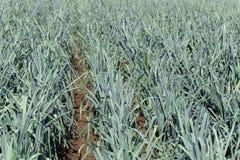 Piante del porro su un campo prima del raccolto Immagini Stock Libere da Diritti
