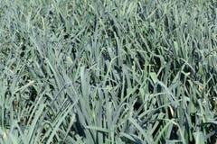 Piante del porro su un campo prima del raccolto Immagini Stock