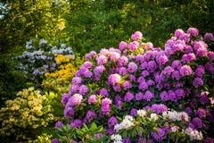 Piante del rododendro in fioritura con i fiori dei colori differenti Cespugli dell'azalea nel parco con differenti colori del fio immagini stock