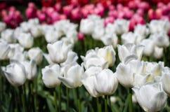 Piante del tulipano con i fiori in piena fioritura Immagine Stock