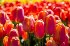 Piante del tulipano con i fiori in piena fioritura Fotografia Stock Libera da Diritti