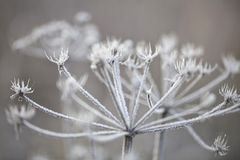 Piante delicate con la brina il giorno di inverno freddo Fotografia Stock Libera da Diritti