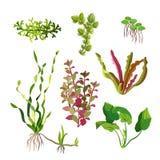 Piante dell'acquario messe Alghe subacquee del fumetto Elementi naturali dell'alga royalty illustrazione gratis