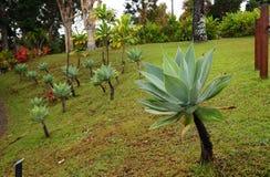Piante dell'agave Immagini Stock Libere da Diritti
