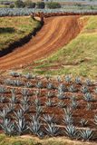 Piante dell'agave Fotografie Stock