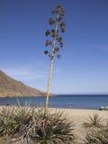 Piante dell'agave a Almeria, Spagna Fotografia Stock Libera da Diritti