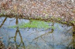 Piante dell'alga dell'acqua in fiume Immagini Stock
