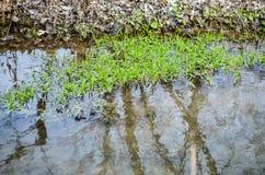 Piante dell'alga dell'acqua in fiume Immagine Stock Libera da Diritti
