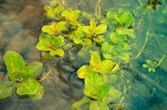 Piante dell'alga dell'acqua in fiume Fotografia Stock Libera da Diritti