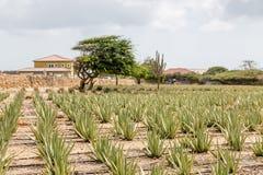 Piante dell'aloe con Divi Divi ed il cactus Fotografia Stock Libera da Diritti