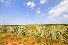 Piante dell'aloe nel Portogallo Fotografia Stock Libera da Diritti