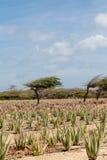 Piante dell'aloe sotto Divi-Divi Tree su Aruba Immagini Stock Libere da Diritti