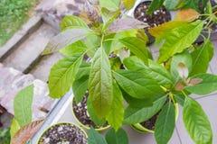 Piante dell'avocado fotografia stock libera da diritti