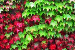 Piante dell'edera in autunno immagini stock