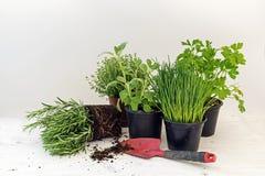 Piante dell'erba della cucina in vasi quale i rosmarini, timo, prezzemolo, sa Immagini Stock