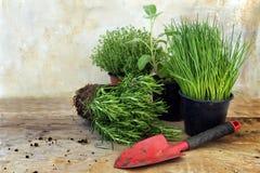Piante dell'erba della cucina in vasi quali i rosmarini, il timo, la salvia e la c Immagini Stock Libere da Diritti