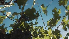 Piante dell'uva con le bacche che appendono sui sostegni alla serra di viti stock footage