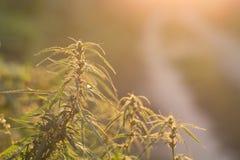 Piante della cannabis (marijuana) Fotografia Stock Libera da Diritti