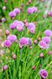 Piante della erba cipollina in fiore Fotografie Stock Libere da Diritti