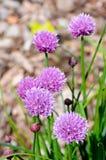Piante della erba cipollina in fiore Fotografia Stock