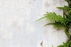 Piante della felce sulla vecchia parete incrinata Immagini Stock Libere da Diritti