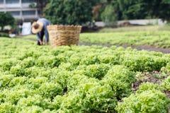Piante della lattuga Immagine Stock Libera da Diritti