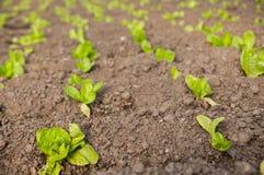 Piante della lattuga nelle file Immagine Stock Libera da Diritti