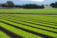 Piante della lattuga nelle righe nel campo dell'azienda agricola Fotografie Stock Libere da Diritti