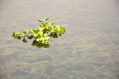 Piante della lemma che galleggiano nel lago Immagini Stock