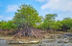 Piante della mangrovia su suolo bagnato, Ngwesaung, Myanmar immagine stock