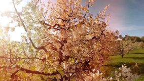 Piante della natura della luce del chiarore del sole di primavera del fondo degli alberi della molla di vista aerea stock footage