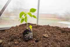 Piante della paprica della piantina (capsico, peperoni) con il sistema della radice dentro fotografia stock