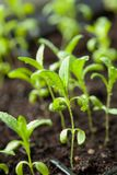 Piante della piantina che crescono in vassoio della plastica di germinazione fotografia stock libera da diritti
