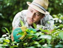 Piante della potatura dell'agricoltore in una serra Fotografia Stock