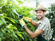 Piante della potatura dell'agricoltore in una serra Fotografia Stock Libera da Diritti
