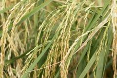 Piante della risaia Fotografie Stock